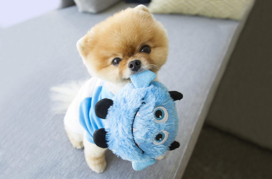 Adorable Jiffpom Pics To Instantly Brighten Your Day